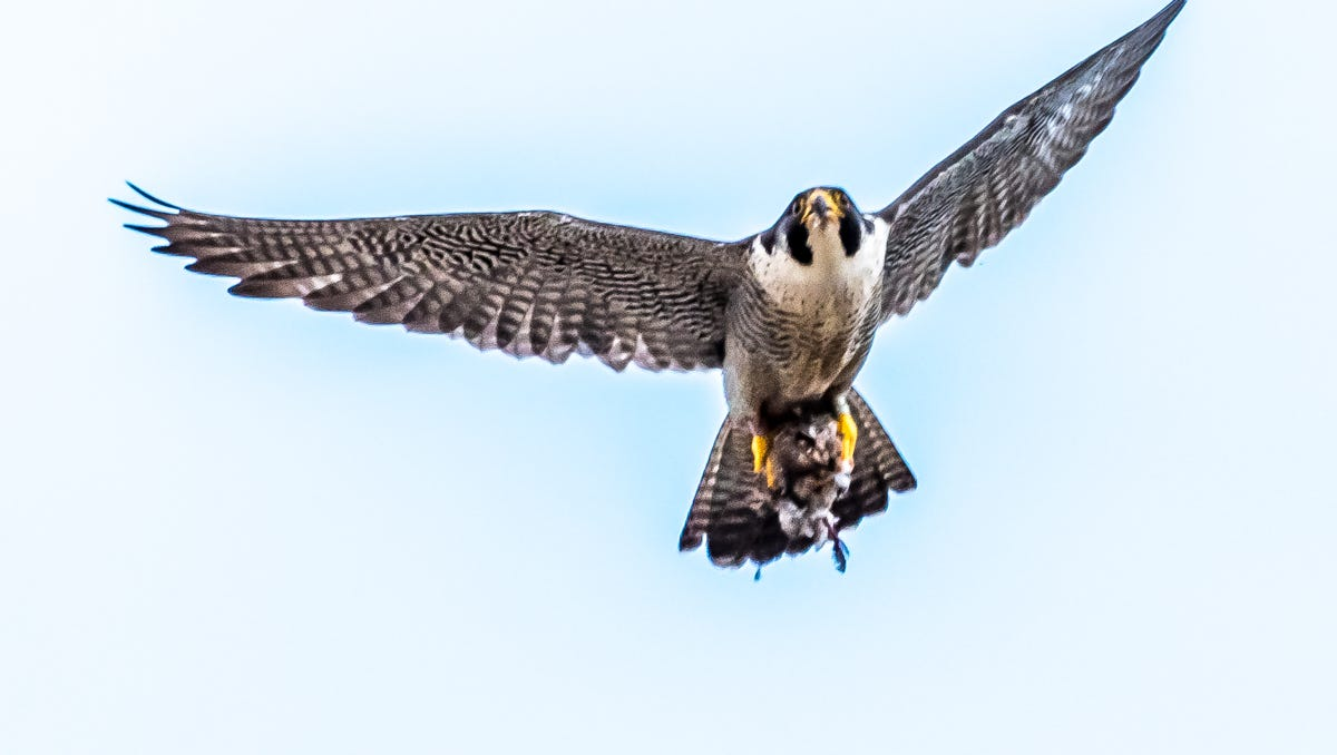 Peregrine Falcons Back From Brink Of Extinction