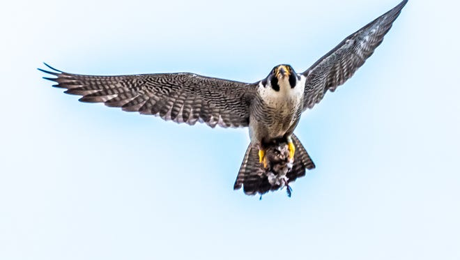 Peregrine falcons are the fastest animal on earth, reaching speeds more than 200 mph.