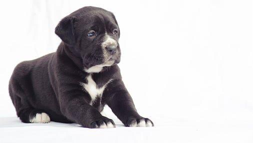 Black cane corso puppy dog.