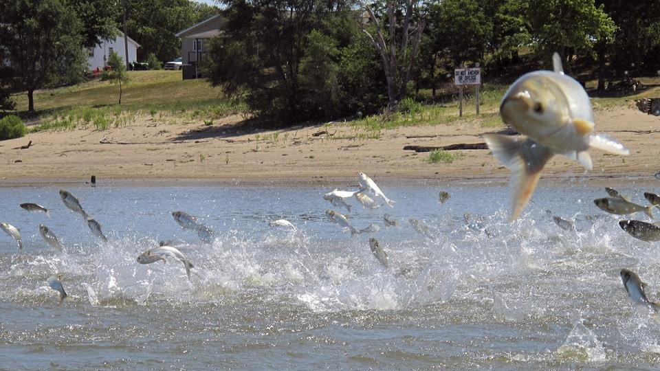 In this 2012 photo, Asian carp jolted by an electric current from a research boat leap from the Illinois River near Havana.