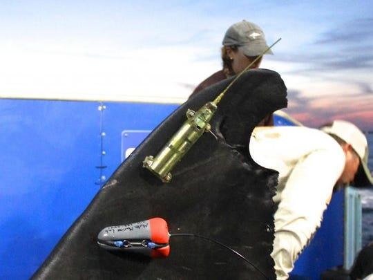 A satellite tag on the dorsal fin of Mary Lee, a great white shark. The picture was taken in 2012 when Mary Lee was aboard the OCEARCH research vessel.