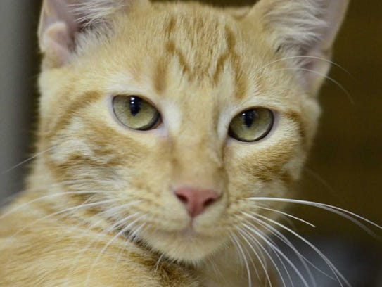 Oliver - Male domestic short hair, adult. Intake date: 5/12/2017