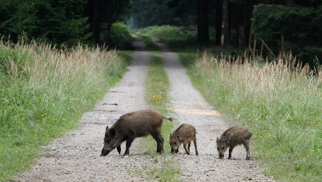 Wild boars stroll in a forest in Eglharting near Munich, southern Germany on Aug. 18, 2010.
