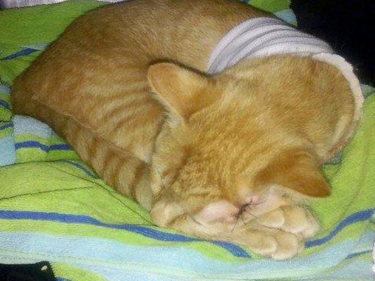 Opie the cat was badly injured in August by a stray bullet that tore through his head and shoulder. He has recovered, but his vet bills are still causing a stir.