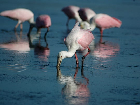 File: Roseate spoonbills search for breakfast in the