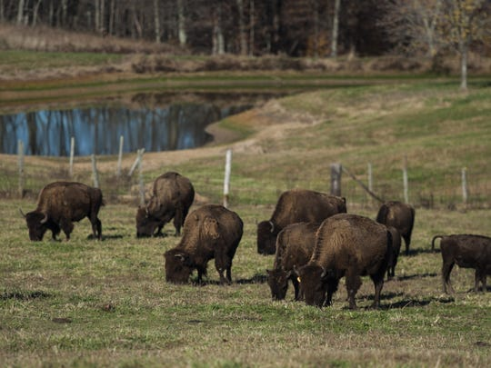 Bison graze on Zach Martin's ranch in Solsberry, Ind. Martin owns around 60 bison, 225 acres of Greene County land and a Bloomington storefront under the name Red Frazier Bison.