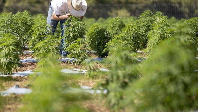 Aaron Owens says he's confident he'll turn a profit from the two-acre hemp crop he's growing just south of Dripping Springs, despite a steep drop in commodity hemp prices over the past year. Owens said he's able to produce a premium hemp extract that's rich in a variety of healthful, non-psychoactive components of the plant.