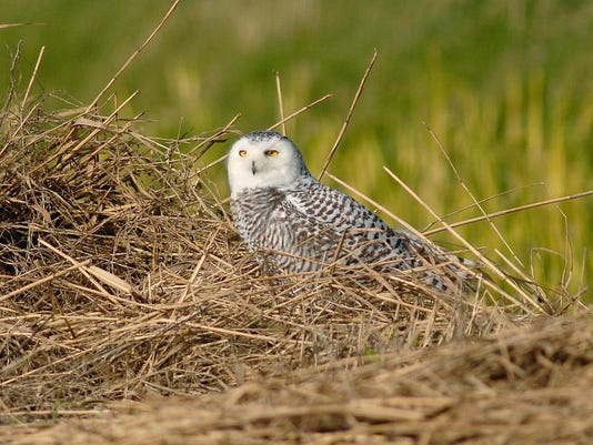 An immature female Snowy Owl is pictured
