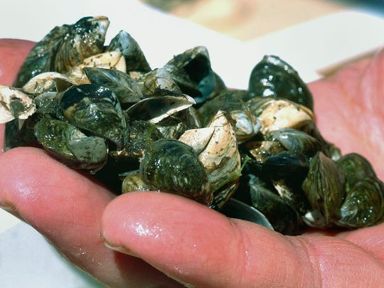 In this May 3, 2007 file photo, Inland Seas Education Association instructor Conrad Heins holds a cluster of zebra mussels that were taken from Lake Michigan off Suttons Bay, Mich.
