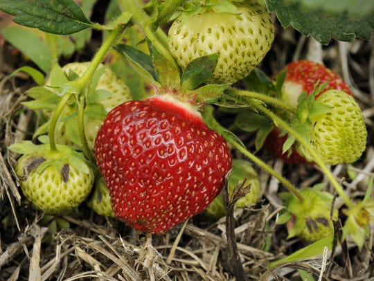 It's a good day for picking your own strawberries at