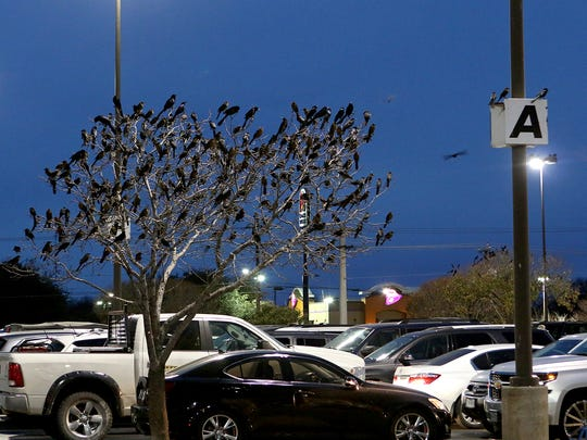 Hundreds of grackles roost in trees and any other place they can land near United Market Street, 4590 Kell West Blvd., last week.