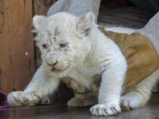 A zookeeper weighs one of the four rare white lion