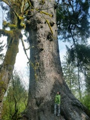 The world record Sitka spruce near Quinault towers over human observers.