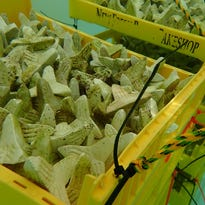 Navy collaborates with biologists to nurse coral