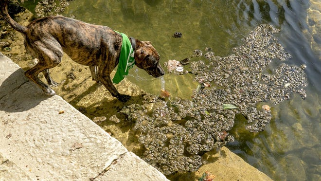 A dog on Red Bud Isle steps into Lady Bird Lake next to potentially toxic algae on Aug. 6, 2019.