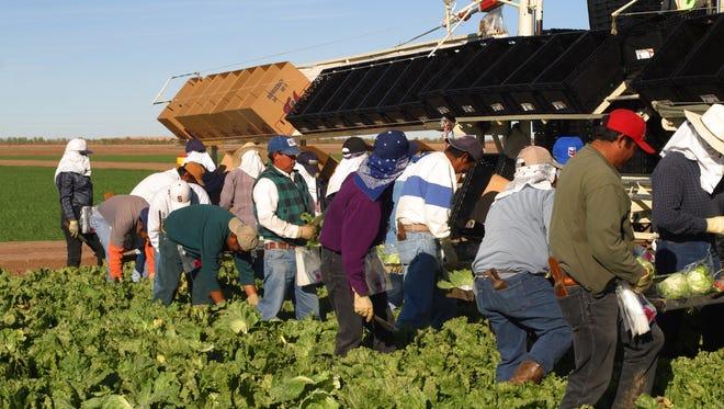 YUMA, ARIZONA, USA: Harvesting lettuce on the Flanagan Farms near Yuma, AZ. PHOTO BY JACK KURTZ