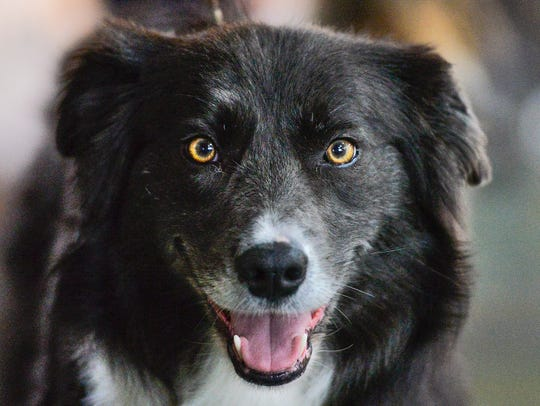 Grayson Kobluk's border collie, Snap, competes in the