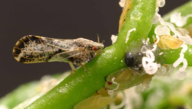 "The Asian citrus psyllid is seen in this University of Florida photo provided by the University of California, Davis. Psyllids feed on the liquid inside citrus leaves and are the only transmitter of a deadly disease U.S. growers call ""citrus greening"" because fruit fails to ripen."