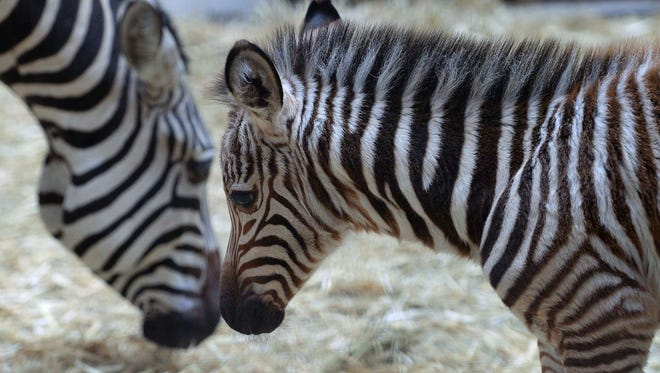 A four-day old zebra stands next to its mother Romy of the Duch Safaripark Beekse Bergen, in Budapest Zoo and Botanic Garden of the Hungarian capital on January 8, 2015.