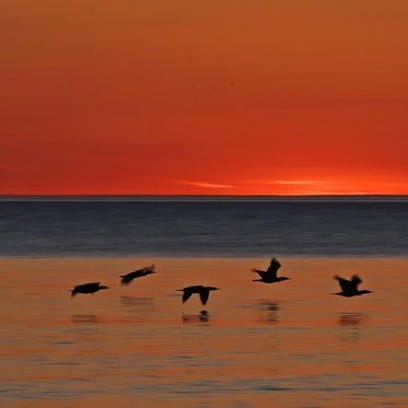 Double-crested cormorants fly over the water as the