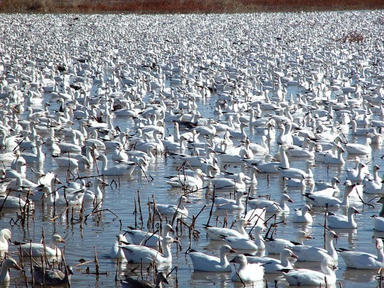 Less than an hour and a half from Albuquerque is the Bosque del Apache Wildlife Refuge, the wintering home for sandhill cranes.