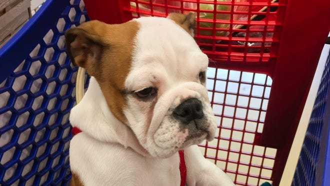 An English Bulldog who would no doubt be disappointed to never ride in a Publix shopping cart.