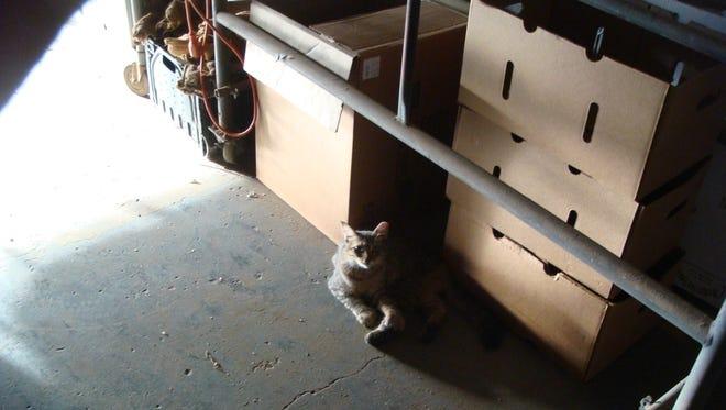 A working cat employed through the Arizona Humane Society's Working Cats Program