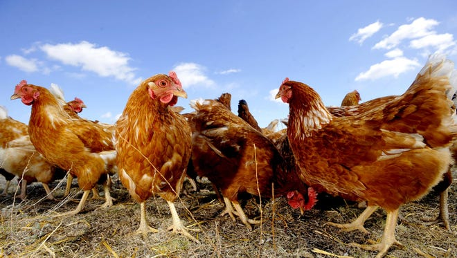 Pastured chickens at a farm north of Great Falls, where chickens are legal.