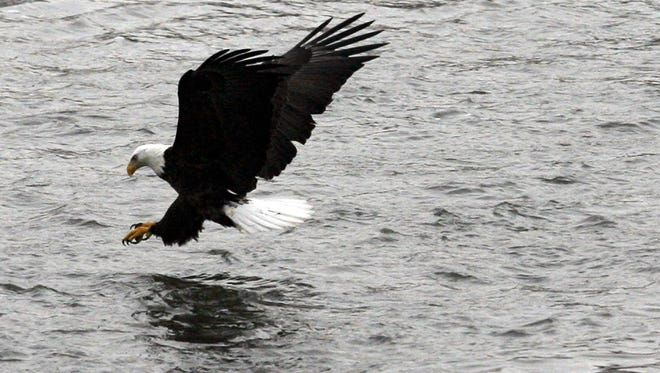 A bald eagle prepares to strike the water while fishing near the Iowa River Power Company in Coralville, Iowa.