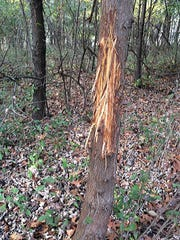 A buck rubbed the bark off of this white cedar at the