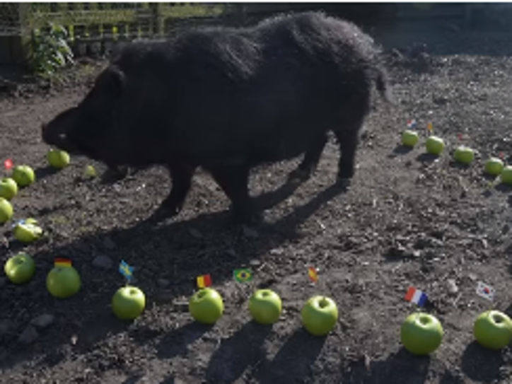 Owner Juliette Stevens told BBC News that the pig correctly predicted that Donald Trump would win the 2016 presidential election.