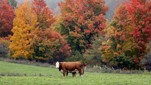 A cow stands in a field surrounded by autumn colors on Monday, Oct. 17, 2016, in Fenner, N.Y.