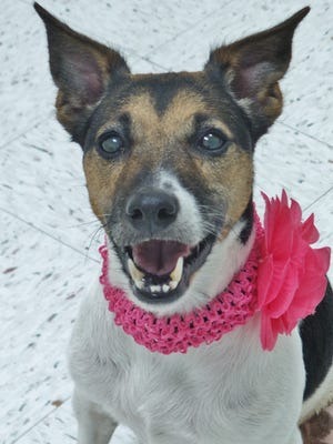 Missy is a 6-year-old terrier mix who has a tail that never seems to stop wagging! She's a super sweet girl who came into the shelter as a stray and is looking for a second chance. Once you spend some time with her, we have a feeling you'll fall hard.