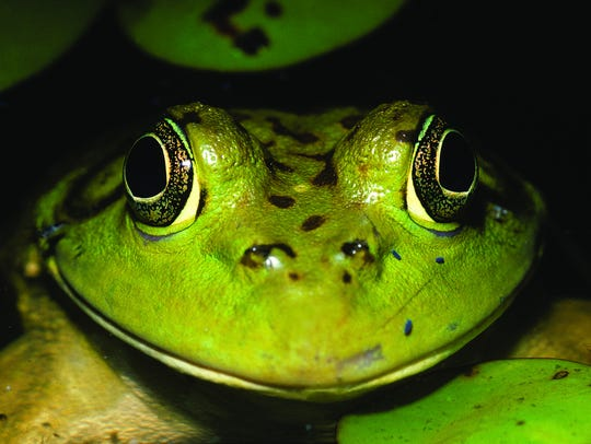 Nature Center visitors might encounter bullfrogs along