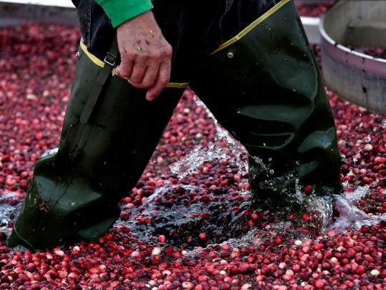 Frigid water and cranberries splash around as a worker