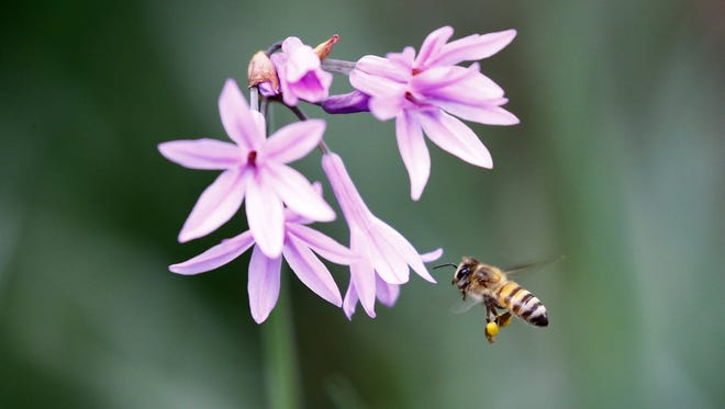 A bee lands on a flower while its searches for pollen in Magaliesburg, Johannesburg, on Dec. 9, 2017.
