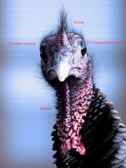A turkey gives Tremblay a stare but that allows him