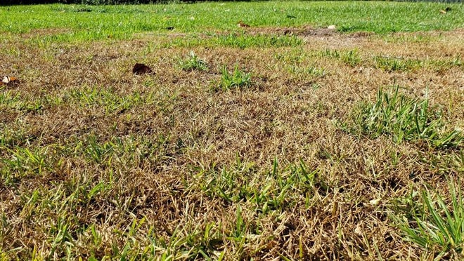 Chinch bug damage to St. Augustine grass appears as spreading patches of brown, dead grass.