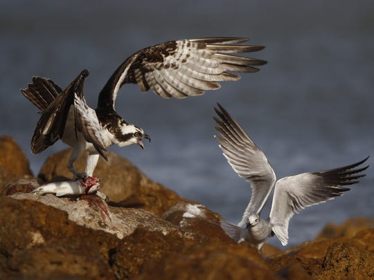 An osprey and gull fight over a fish on the Sanibel