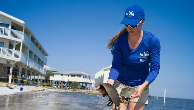 Sea Grant agent Savanna Barry conducting a horseshoe crab survey in Cedar Key last year.