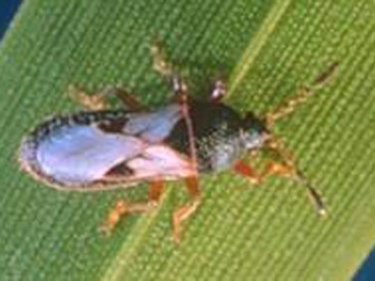 Chinch Bug (LSU AgCenter).jpg
