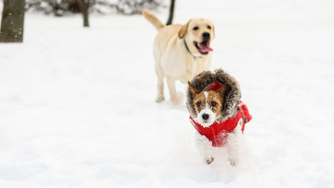 Jack Russell Terrier and Labrador Retriever on snow