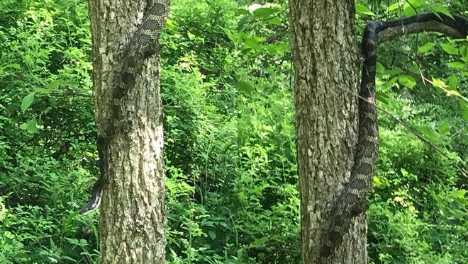 Two pictures of a large snake found in a Hancock County walking trail.