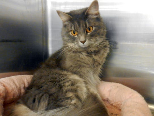 Bella is a beautiful, 3-year-old, spayed, female longhair