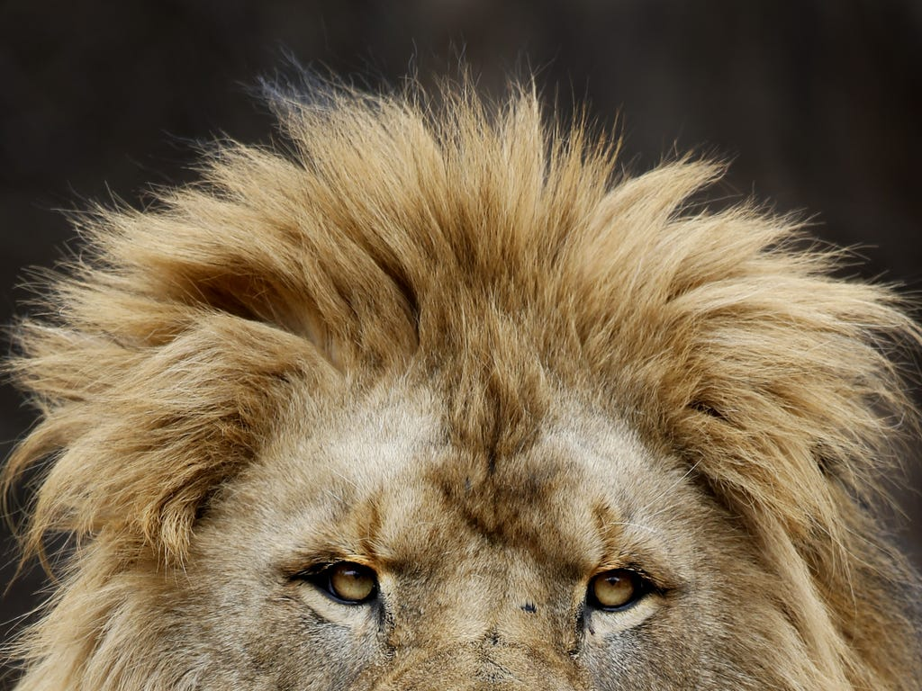An African Lion at the Lincoln Park Zoo looks out over the visitors at the zoo in Chicago.
