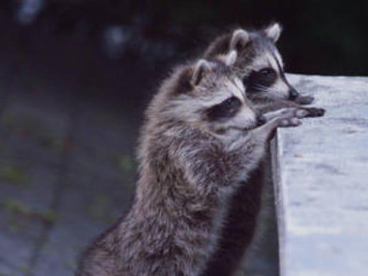 636650229558383232-raccoons.jpg