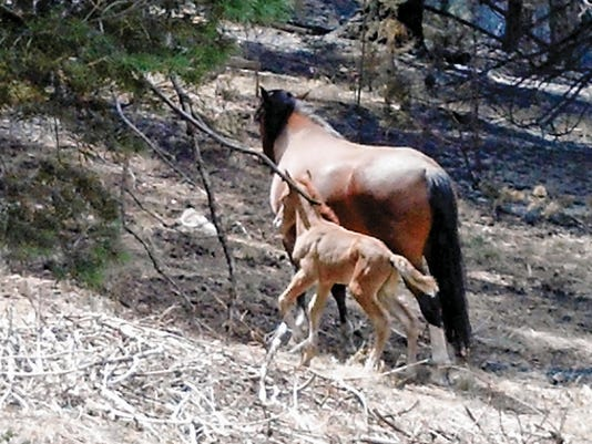 After being found in distress, this little filly later was adopted in 2014 through the State Livestock Board, which is responsible for the well-being of the herd.