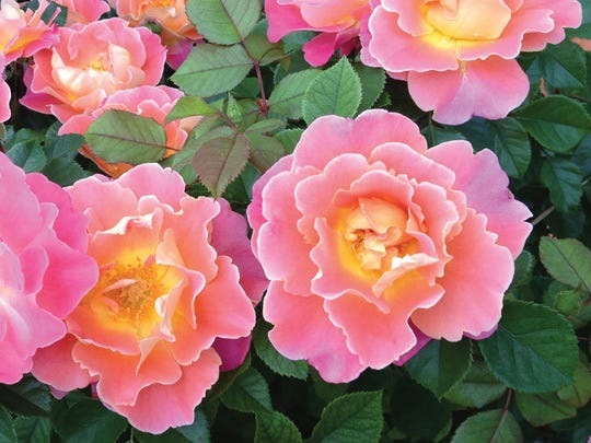 Will Radler's Fruit Petals roses