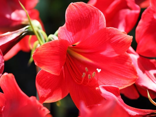 Amaryllis bulbs are more toxic than either its leaves or flowers.