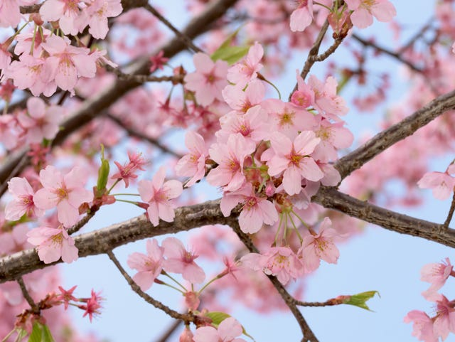 The Flowering Plum Is Not Your Ornamental Cherry